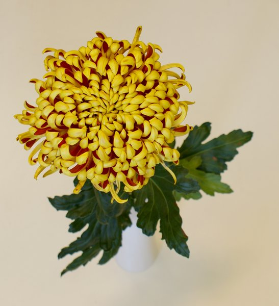 chrysanthemum: Flower of chrysantemum on white background