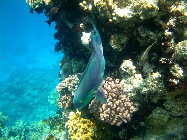 parrotfish: Parrotfishes are a group of fishes are found in coral reefs
