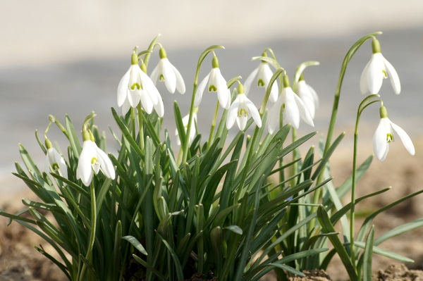 snowdrops: One of the first spring flowers