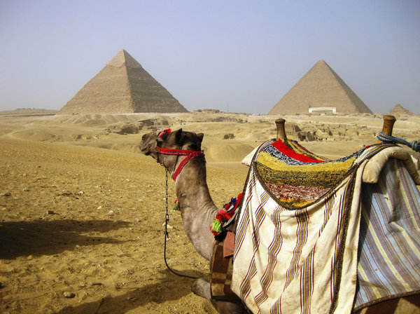 pyramids: camel near the Egyptian pyramids in the desert