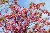 cherry blossoms: cherry blossoms