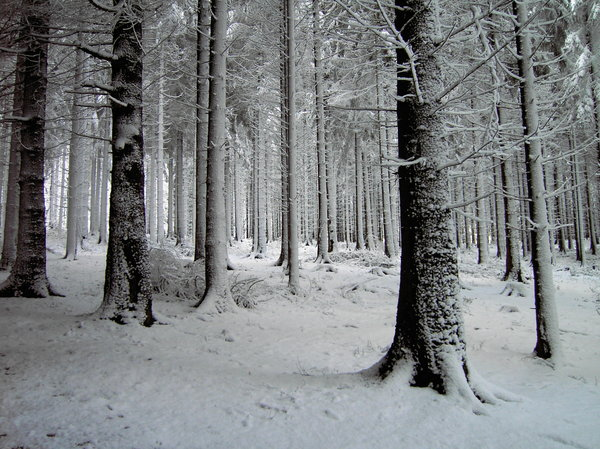 snowy forest: snowy forest
