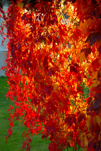 Autumn leaves in fire: A photo from my neighbors garden.