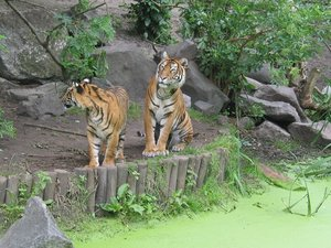 Is he coming yet?: tigers at the zoo