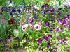 pansy field: pansy field