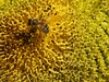 bee on a sunflower: bee on a sunflower