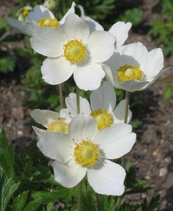 anemone - wind flower: Anemones are used in homeopathy. The name Anemone comes from anemos, the greek word for wind, thus giving Anemone the name wind flower.