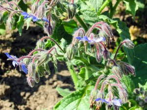 common borage: common borage - aka starflower - Borago officinalis