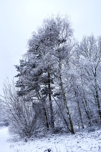 snowy trees in winter: snowy trees in winter