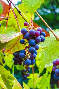 black grapes: black grapes