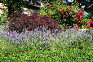 lavender and rose garden: lavender and rose garden