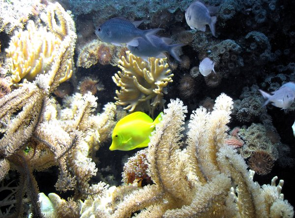 sea life with a yellow tang: tropical sea life with a yellow tang and lots of corals