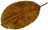 Leaf  44: A series of isolated fall leaves.