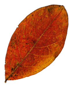 Leaf 67: A series of fall leaves.