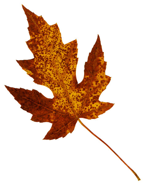 Leaf 26: An isolated fall leaf.