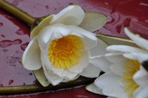 Water lilies 2: white flowers called water lilies