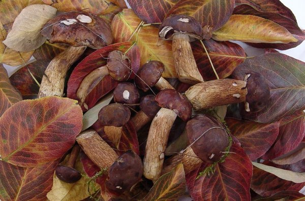 Autumn gifts: Gifts of autumn - colorful leaves and fresh mushrooms (chestnut boletus fungi)