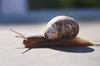 Snail on the move: Snail moving slow in the sun