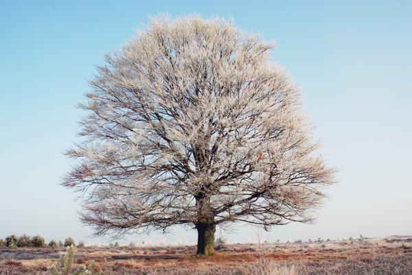 Tree winter: A tree in the winter cold