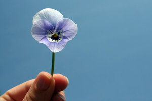 pansy: lilac pansy in hand