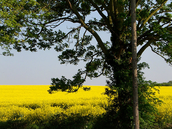 field of gold: a tree standing at the head of abright yellow rape seed field