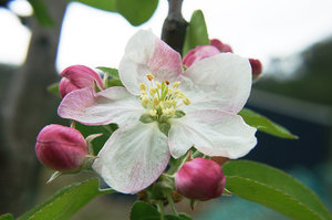 Apple Blossom: Apple Blossom / Flower