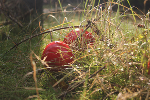 Red Mushrooms: Mushroom season in the woods - Danish late summer II If you like this picture, feel free to comment it. It will make me very happy.