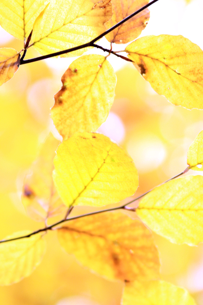 Golden Autumn: Yellow Beech Close up. || If you like this picture, feel free to leave a comment. It will make me very happy :)