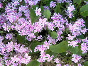 Purple Flowers: A shot of some little purple flowers. I beleive this is a type of ground cover, but Im not sure of the name.