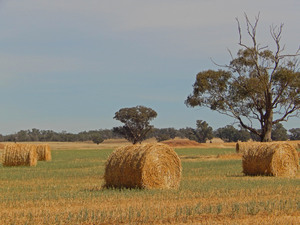 agriculture: a few round bales closeup in a paddock