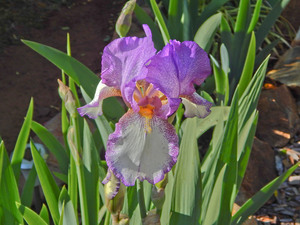 flower: a purple iris closeup in a garden