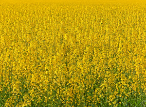 agriculture: a canola crop close up in flower