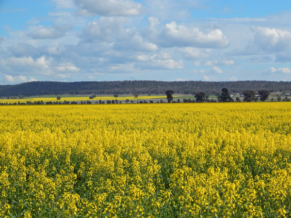 agriculture: a flowering canola crop with cloudy sky