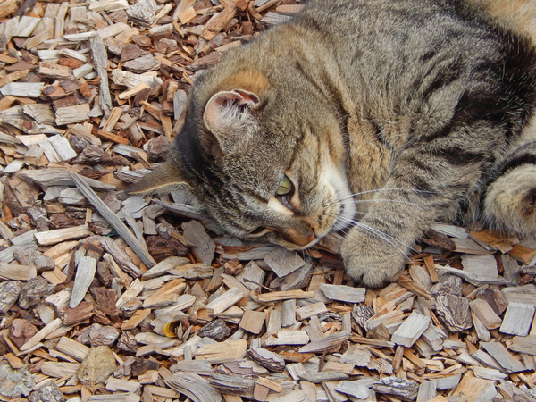 mammal: a tabby cat laying down chewing stick