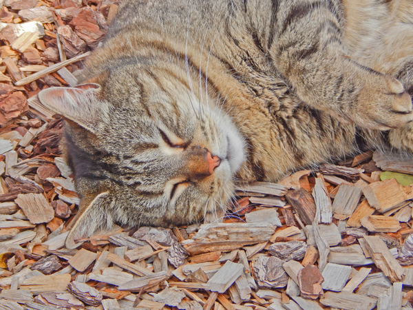 mammal: a family cat resting on wood chips