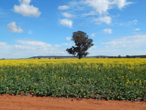 agriculture: a canola crop with a tree and cloudy sky