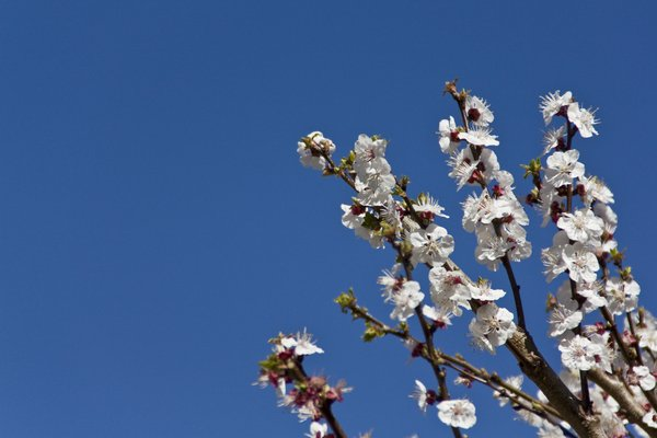 apricot tree: apricot branches in flower