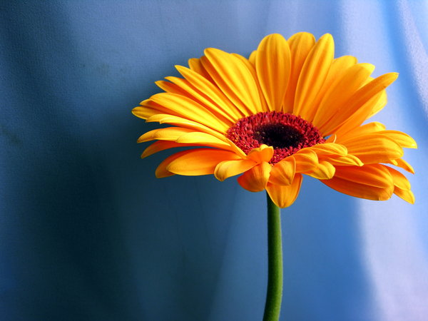 Gerbera II - 3: next photos with this flower :)