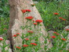 Reddish Orange Flowers: Reddish orange flowers with rock and green foliage in background