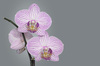 Orchid: A close-up picture of a white-purple orchid on a soft grey background.