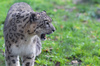 Snow leopard showing teeth: Pictures of a snow leopard showing teeth in the zoo of Planckendael, Belgium