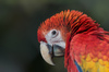 Parrot close-up: A close-up picture of the head of a beautiful parrot