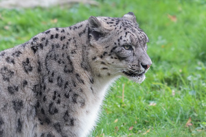 Snow leopard: Pictures of a snow leopard in the zoo of Planckendael, Belgium