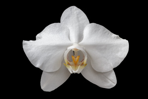 Orchid flower: A close-up picture of an orchid flower