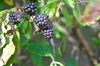 Brambles - Blackberries: Brambles or Blackberries on the bush - very ripe, some just gone over