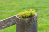 Fence post: Plant opportunistically growing on top of a wooden fence post