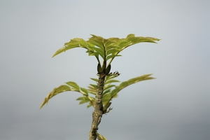 Sprig of young leaves: Sprig of young leaves over a neutral background