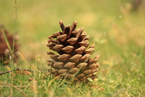 Pine cone: Pine cone close-up on forest floor
