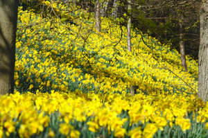 Daffodils: Lots and lots of daffodils!