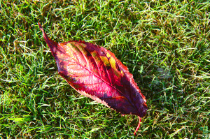 Autumn leaf on grass: Autumn leaf on dewy, morning grass